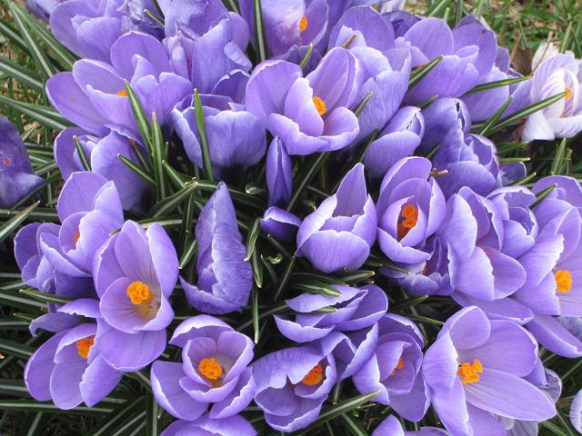 crocusessmall