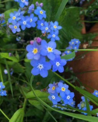 forgetmenot wild flowers